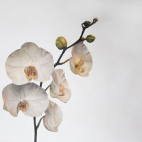 Erin Vincent - Large White Orchid