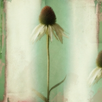 Rick Filler - White Coneflower 2/15