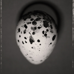 David Ellingsen - Common Murre Egg 2