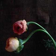 Kristin  Sjaarda - Pink Ranunculus