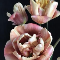 Kristin  Sjaarda - Belle Epoque Tulips 2017