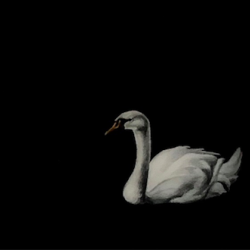 Heather  Cook  - Swan