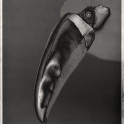 David Ellingsen - White Throated Toucan, Ramphastos Toucan