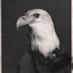 David Ellingsen - Bald Eagle, Haliaeetus Leucodephalus No.1