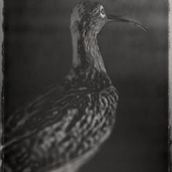 David Ellingsen - Eurasian Curlew, Numenius Arquata