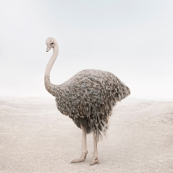Alice  Zilberberg - Onward Ostrich