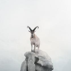 Alice  Zilberberg - Intent Ibex
