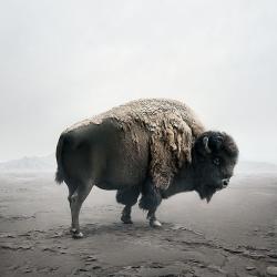 Alice  Zilberberg - Be Here Bison