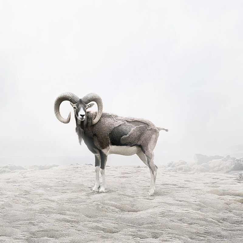 Reflecting Ram  by Alice  Zilberberg