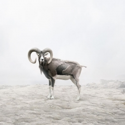 Alice  Zilberberg - Reflecting Ram
