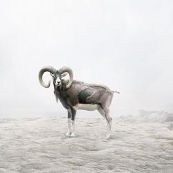 Alice  Zilberberg - Reflecting Ram