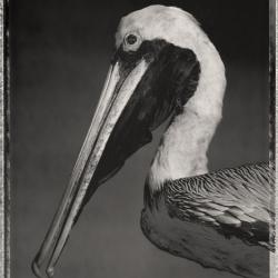 David Ellingsen - Brown Pelican, Pelecanus Occidentalis No.1