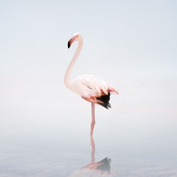 Alice  Zilberberg - Wondering White Flamingo