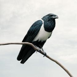 Alice  Zilberberg - Present Pied Crow