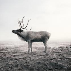 Alice  Zilberberg - Calm Caribou