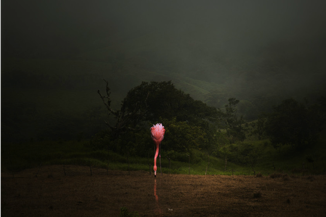A Lost Flamingo Drinks in a Field by Pat  Swain